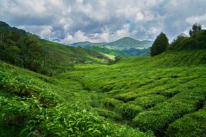 How Is Green Tea Good For You?3