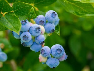 Pain and the Antioxidants in a Blueberry